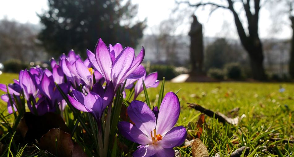 Large group of purple crocus Nature Purple Fragility Flower Beauty In Nature Focus On Foreground Freshness Growth Flower Head Plant Petal Outdoors Close-up Crocus EyeEm Gallery Eyem Gallery Springtime Statue In The Background Wuppertal Friedrich-Engels Statue