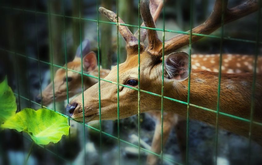 Live For The Story Great Outdoors-EyeEm Awards 2017 Animal Themes Cage One Animal Mammal Focus On Foreground Day No People Close-up Animals In The Wild Trapped Outdoors Nature Bird 2014年8月漳平郑君摄 2014 EyeEm Festival 2014 Sika Deer 20140802