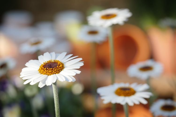 EyeEm Best Shots EyeEm Nature Lover EyeEm Gallery EyeEmNewHere Freshness Beauty In Nature Close-up Daisy Day Flower Flower Head Flowering Plant Focus On Foreground Fragility Freshness Growth Inflorescence Nature No People Petal Plant Plant Stem Pollen Vulnerability  White Color