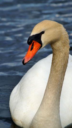 Colors Swan