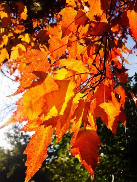 Good Morning my Friends ☕🤗. I wish you a wonderful sunday with ths shining autumn Leves 🙌🍁🍂☀️❣. Autumn Leaves Trees Tree Trunk Leaves Leaf Autumn colors Shining Sun Sunlight Sky EyeEm Best Shots EyeEmNewHere EyeEm Nature Lover EyeEm Selects GERMANY🇩🇪DEUTSCHERLAND@ Germany🇩🇪 Germany Nature Nature_collection Nature Photography Maple Tree Maple Leaf Branch Leaf Autumn Change Maple Tree Orange Color Close-up A New Beginning