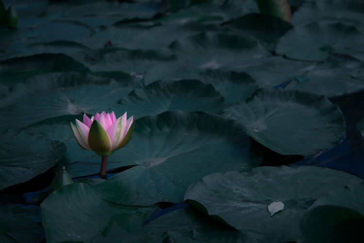 Water lily blooming amidst leaves in lake