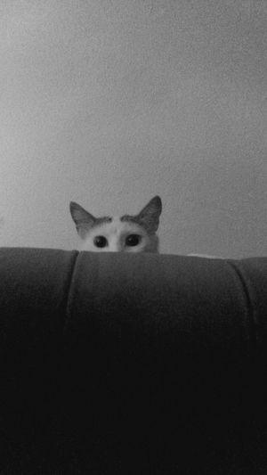 Cat Mr Spock Black And White Kedidir Kedi