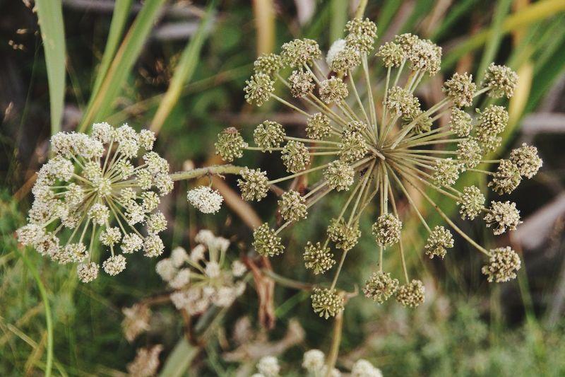 Flower Loka EyeEm Selects Flower Flower Head Plant Part Alternative Medicine Botany Close-up Plant Blooming Plant Life Blossom Botanical Garden In Bloom Flowering Plant Petal Single Flower