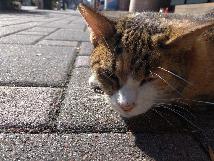 寒いので、陽向のアスファルトにくっ付いていた(>_<) Pets Feline Domestic Cat Portrait Leopard Whisker Street Sunlight Close-up Cat Stray Animal