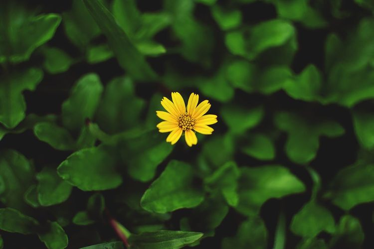 Yellow flower India Bangalore Green Yellow Yellow Flower EyeEm Selects Bokeh Beautiful Love Solo Nature Nature_collection Flower Fragility Yellow Nature Freshness Beauty In Nature Petal Leaf Green Color Flower Head Close-up Plant