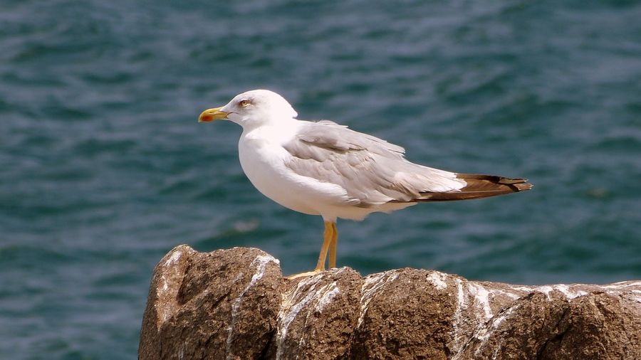 Seagull perching on rock at beach