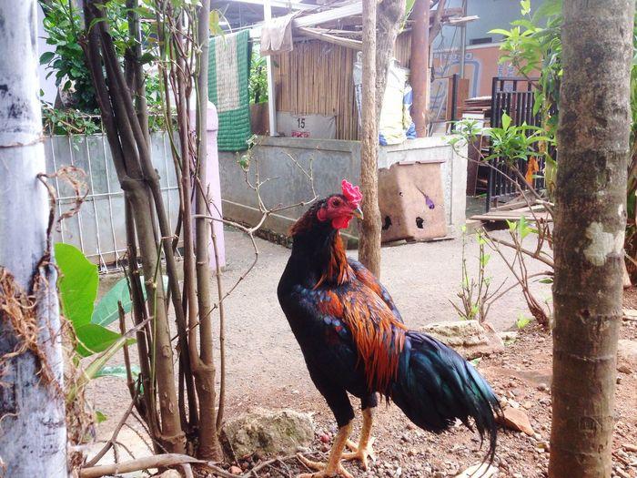 Domestic Animals Animal Pets Domestic Animal Themes Chicken - Bird One Animal Chicken Male Animal