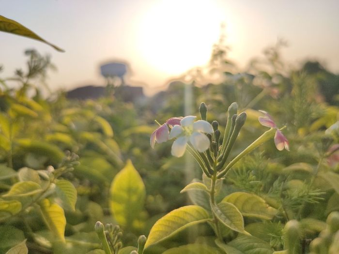 Close-up of flowering plants against sky during sunset