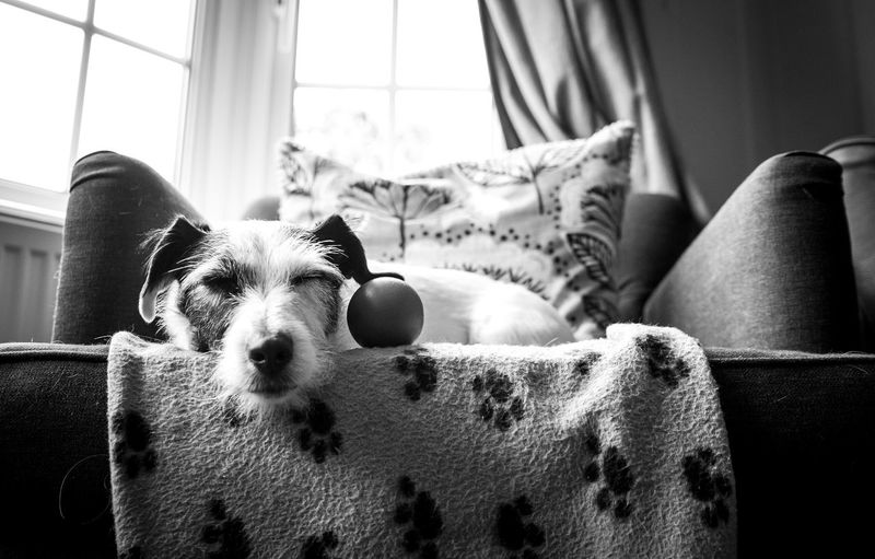 Low angle view of dog resting by ball on armchair at home