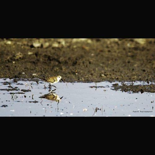 Broadbilledsandpiper Bird Photography Biketrip2k16 Nalsarovar_trip Winter16 AhmedabadDairies Nalsaroverdairies
