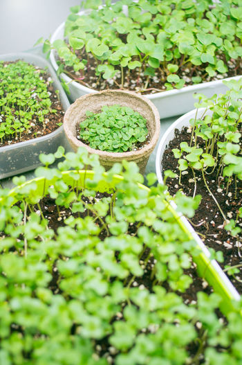 various types of microgreen plants being grown under artificial light Green Color Growth Plant Nature Potted Plant Seedling Leaf Botany Freshness Food Gardening Plantation Planting Various Vertical Vitamins Minerals Soil Edible  Micro Healthy Eating Energy Ingredient Fresh Garnish