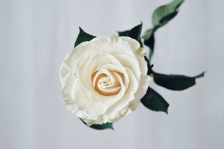 Rosé Flower Head Flower Studio Shot White Background Birthday Rose - Flower Crumpled Paper Paper Close-up Blooming Plant Life In Bloom Single Rose
