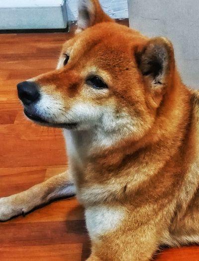 Shiba Inu Shiba