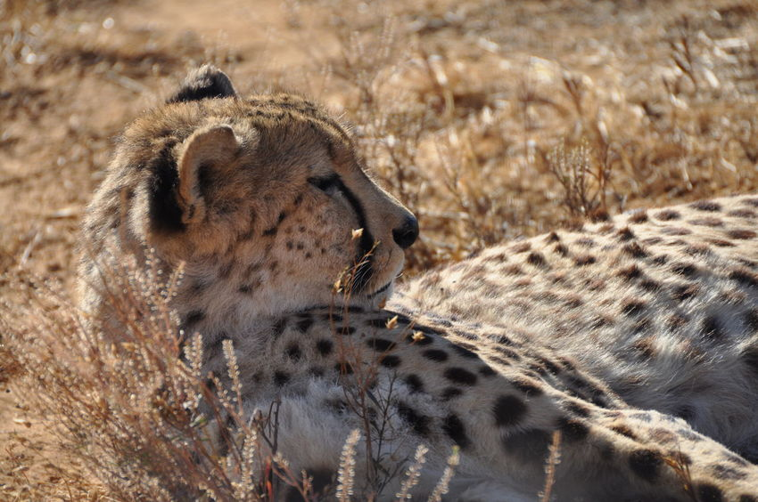 Animal Themes Animal Wildlife Animals In The Wild Aquila Game Reserve Big Cat Carnivora Cheetah Close-up Day Feline Mammal Nature No People One Animal Outdoors Safari Animals