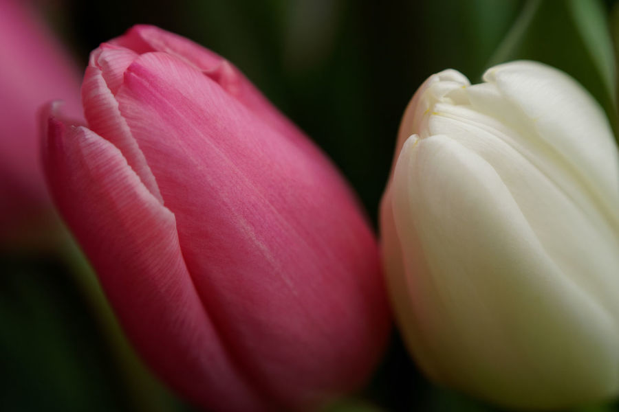 Speise Beauty In Nature Close-up Day Flower Flower Head Flowering Plant Focus On Foreground Fragility Freshness Growth Inflorescence Nature No People Outdoors Petal Pink Color Plant Selective Focus Springtime Tulip Vulnerability