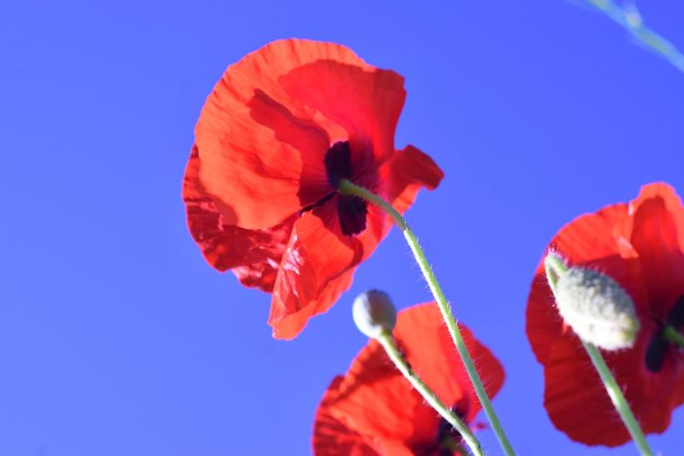 Flower Blue Red