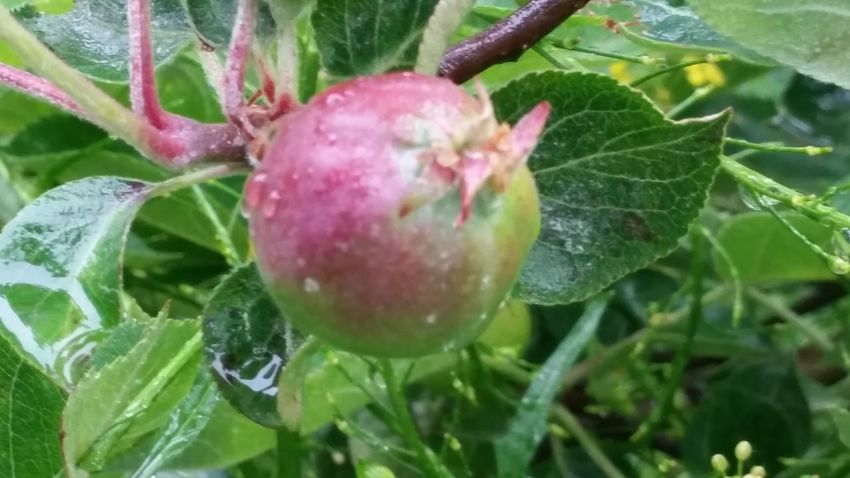 Its We Blooming Thinking About You Its Me Loveit The Essence Of Summer Rainy Day After Rain After The Rain Appelbeignets Apple Tree In Blooming Sour