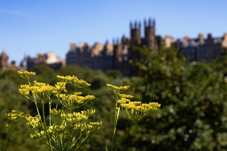 A view of Edinburgh Castle in Scotland Plant Growth Nature Built Structure Architecture Building Exterior Focus On Foreground Beauty In Nature Sky No People Day Clear Sky Close-up Green Color Yellow Flower Outdoors Flowering Plant Sunlight Edinburgh Scotland Edinburgh Festival Fringe 2016 Fringe Show Actors Actresses Edinburgh Castle