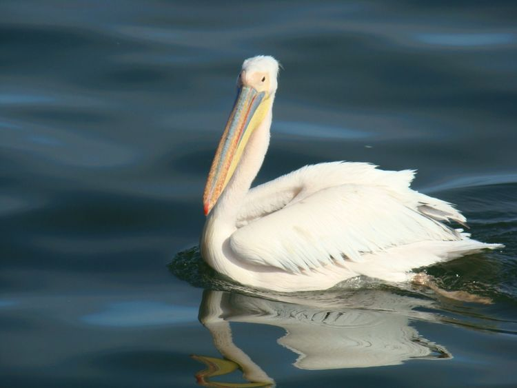 Animal Animal Photography Animals Animals In The Wild Beautiful Bird Bird Photography Birds Birdwatching Pellican Sea Showcase March