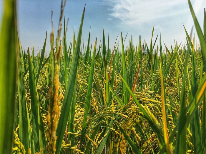 Close-up of crops growing on field against sky