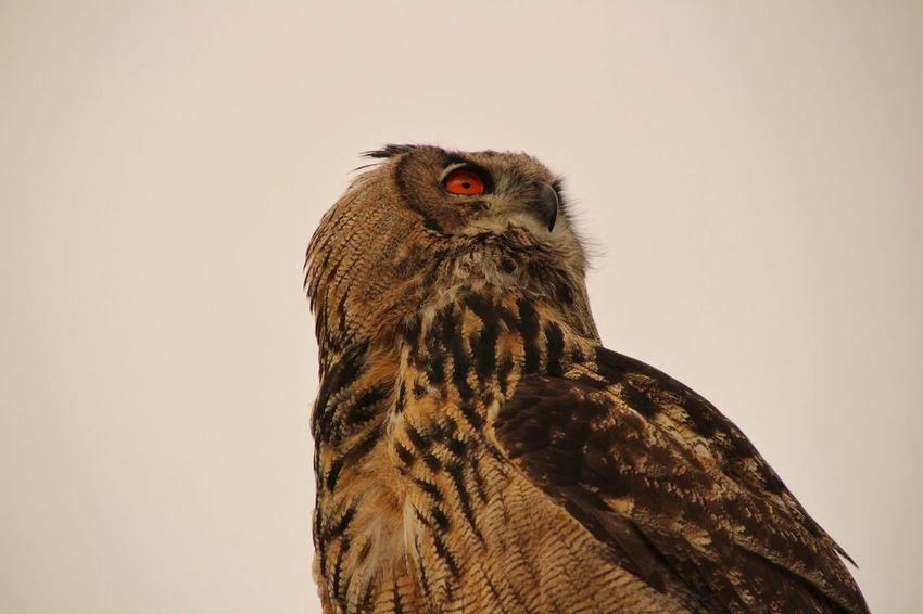 Owl Owl Eyes Bird Of Prey Bird Portrait Perching Close-up Animal Eye Feather  Eye HEAD Eye Color
