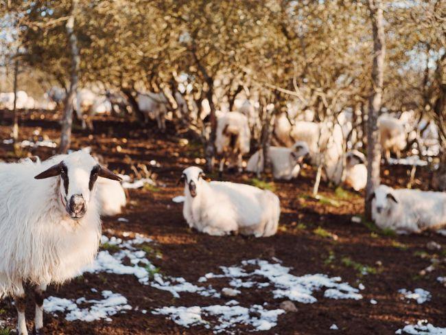 Travel SONY A7ii Backpacking Travel Photography España The Way Lamb Animals Animal Photography CaminodeSantiago Camino Walking In Camino Landscape SPAIN Camino De Santiago Europe Burgos