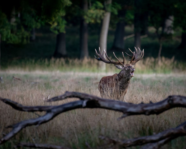 View of stag in forest