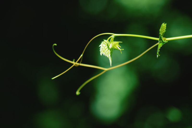 Plant Growth Green Color Close-up No People Nature Focus On Foreground Beauty In Nature Plant Part Vulnerability  Tendril Day Fragility Leaf Selective Focus Plant Stem Beginnings Freshness Flower Outdoors