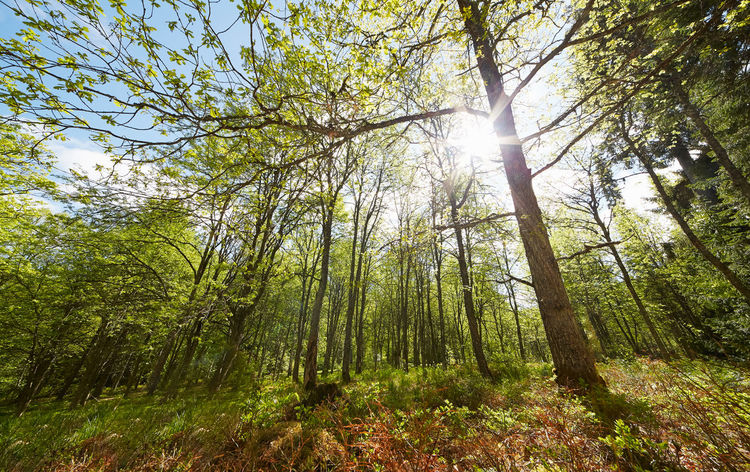Bright sunlight through trees in sunny summer forest Aulanko Finland Forest Fresh Green Green Color Hämeenlinna Landscape Lens Flare Nature Nature Park  Nature Reserve Outdoors Scenery Spring Springtime Sun Sunbeam Sunlight Tranquil Scene Tranquility Tree WoodLand Woodlands Woods