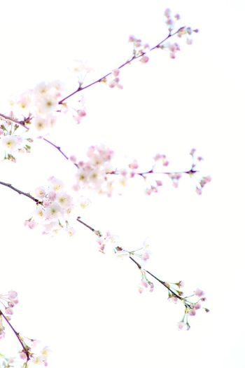 Flower Head Flower Tree Branch Springtime Pink Color Backgrounds Blossom Cultures Cherry Blossom