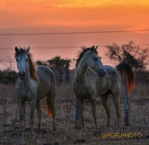 Huge plains and the Magic Sentinels drawing your dreams around the infinite colorful horizon...this is @hatolascaretas one of the best trips you could ever take, simply #unforgettable #magical #beatiful #colorful #losllanos #hatolascaretas #inolvidable Horse Animal Themes Sunset Mammal Domestic Animals Field No People Outdoors Nature Sky Beauty In Nature Day Naturelovers Nature Photography EyeEm Nature Lover Magic Trip Plains LosLlanos Camaguan Colorphotography Nikon Nikon D7000