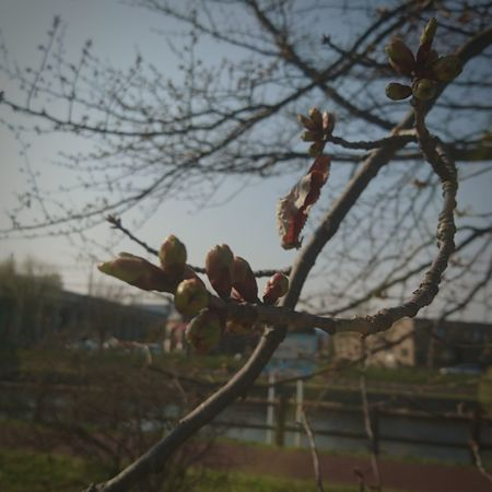 桜の木 加工あり 千歳市にて 実家近く お散歩Photo