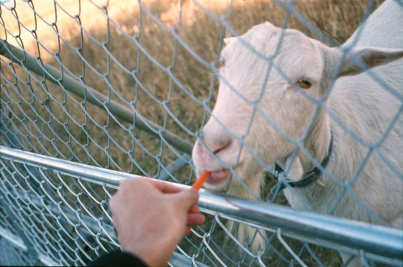 Close-up of hand feeding goat