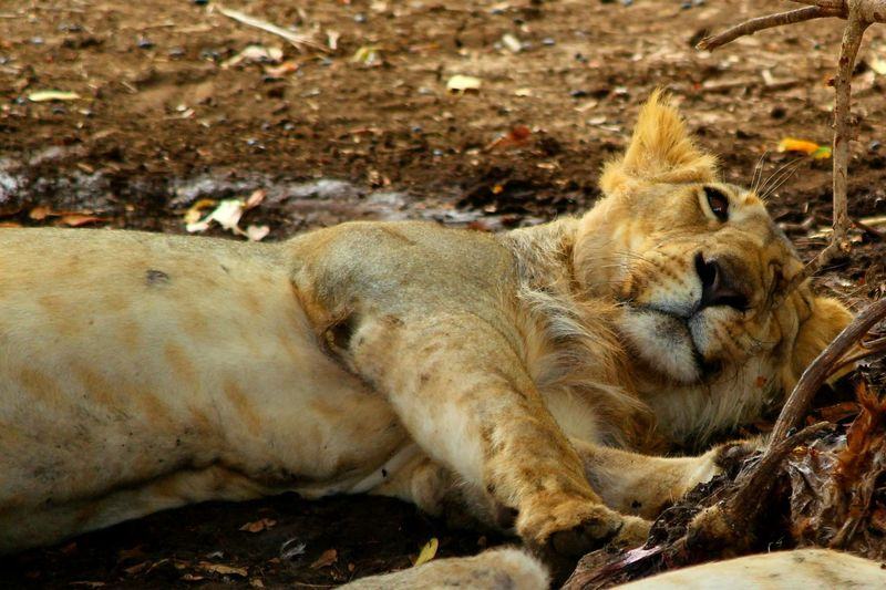 Close-up of a relaxed lion