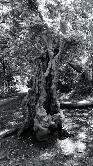 Tree Treetrunk Deadtree WoodLand B&w