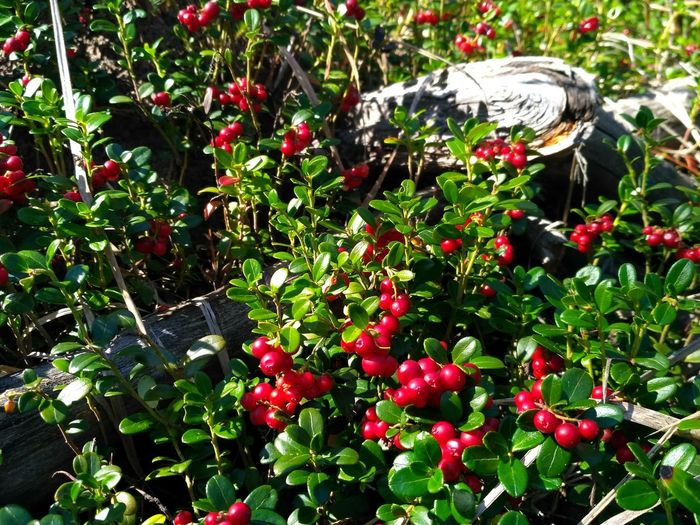 Foxberry Fruit Red Tree Close-up Plant Food And Drink Cranberry Berry Fruit Berry Agricultural Field Farmland