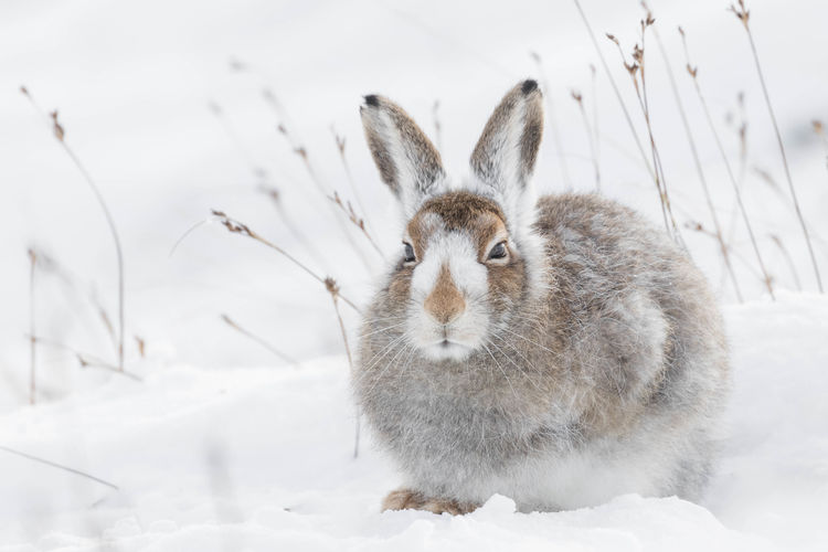 Close-Up Of Rabbit In Snow On Field During Winter