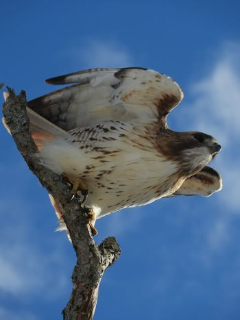Red Tailed Hawk Red Tailed Hawk Taking Flight Hawk Bird Photography Nature Photography Beauty In Nature Winter In Massachsetts Animal Themes Animal Wildlife One Animal Animal Animals In The Wild No People Nature Low Angle View Sky Outdoors