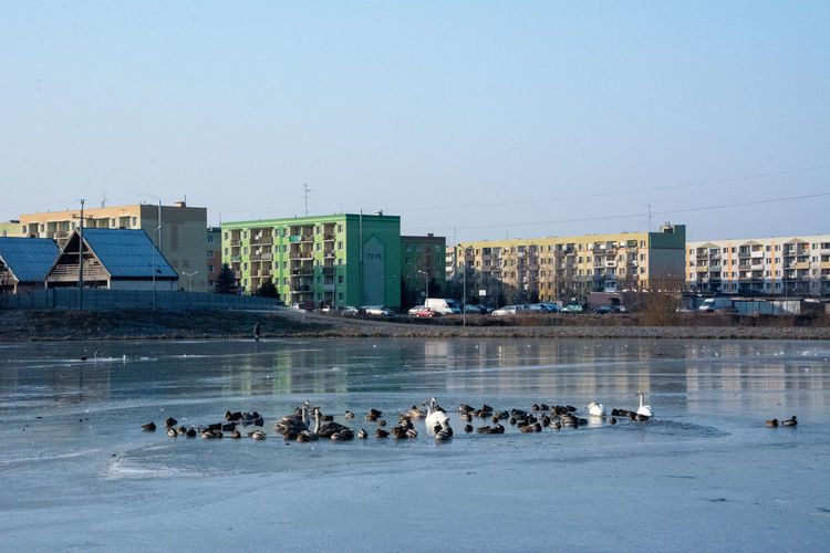 City Survive Swan Lake Winter Cold Cold Temperature Ducks Swan