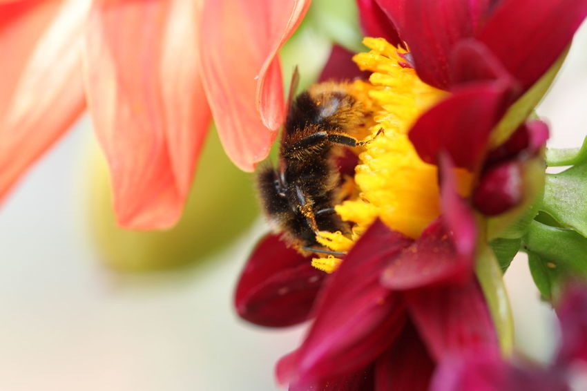 🇩🇪Germany ❤️Dortmund Hummel Red Color Abejorro Flor Flower Flower Head Pollination Bee Bumblebee Insect Petal Honey Bee Perching Close-up Pollen