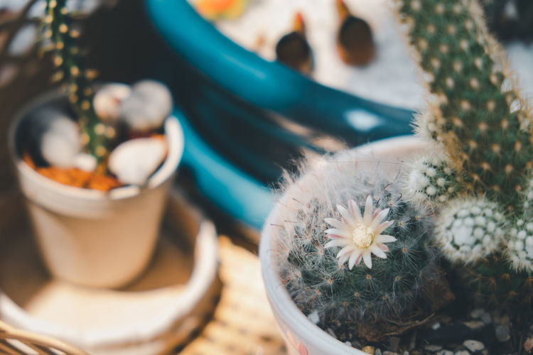 Close-up of potted cactus