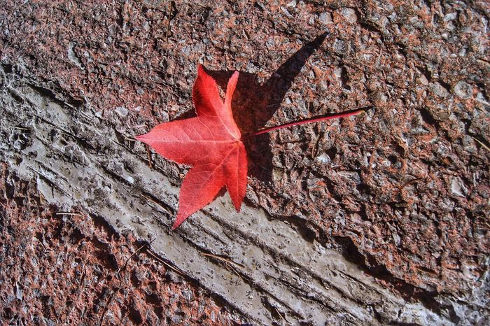 Autumn Leaf Change Red Maple Leaf Dry Maple Nature Outdoors Tree Trunk Day Maple Tree No People Beauty In Nature Tree Close-up nopeople