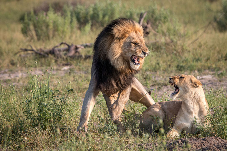 Lion and lioness rough housing on field