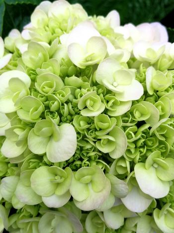 Green Color Plant Freshness No People Close-up Malaysia Genting Highlands Flower Bud Blooming Beautiful White Hydrengea Flower Head Day Fragility Outdoors Freshness Growth Beauty In Nature Nature Plant Pretty
