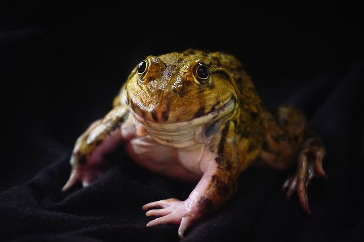 Close-Up Of Frog Against Black Background