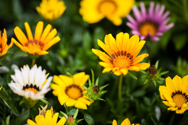 High Angle View Of Gazania Flowers Blooming On Field