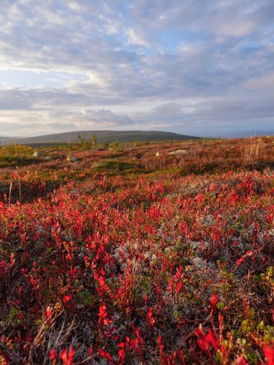 Fall in the mountains Fall Colors Autumn colors Autumn Fall Sälen Sweden Scandinavia Hiking Trail Hiking Moutains Beauty In Nature Plant Sky Cloud - Sky Landscape Environment Growth Tranquility Red Land Flower Flowering Plant Scenics - Nature Field Nature Tranquil Scene No People