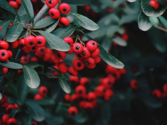 Red berries in