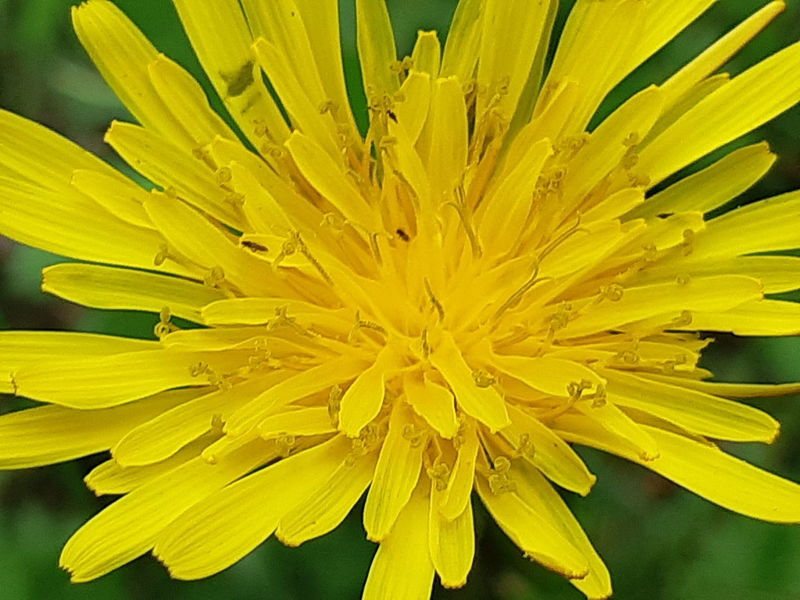 just dandy😁👍 https://youtu.be/KFppTBdCse8 Tiny Insects This Is A Weed 😍😌😊 This Is Not A Kiwi Or A Kiwifruit Dandelion Flower Head Flower Yellow Full Frame Concentric Petal Macro Close-up Plant Pistil In Bloom Botany Plant Life Blooming